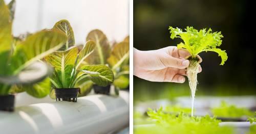 Hidroponía: Cómo hacer un sistema de cultivo sin suelo