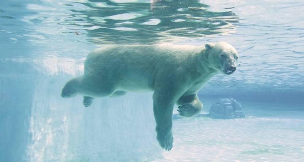 Nació y murió en cautiverio: la triste vida de Inuka, el oso polar que naci