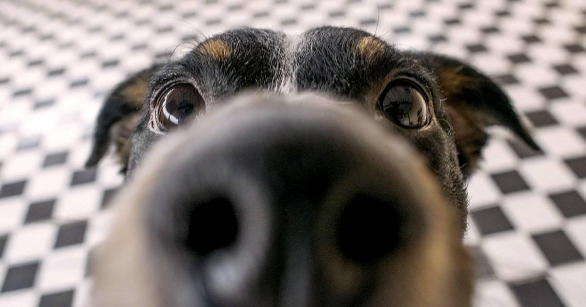 Es mejor que el nuestro pero... ¿Cómo funciona realmente el olfato de un perro?