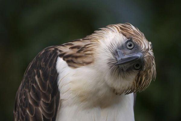 El águila filipina