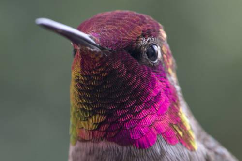 La pandemia de coronavirus también perjudica a los colibríes