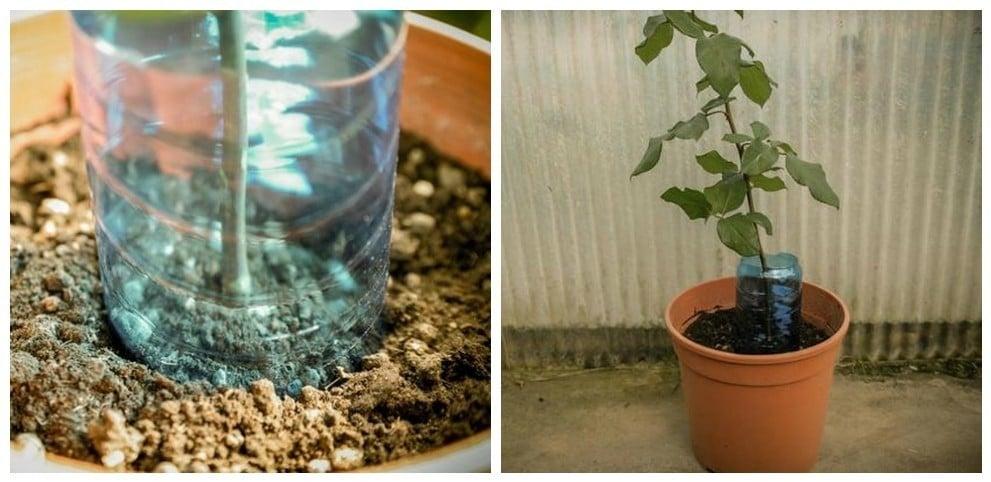 Cómo Cultivar Rosales Con La Ayuda De Una Patata Bioguia