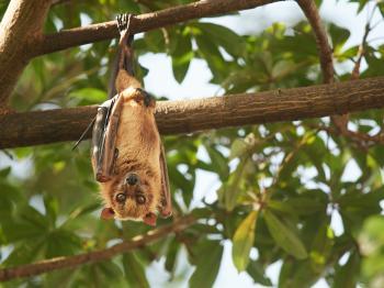 Murciélago endémico de Sulawesi colgando de un árbol.