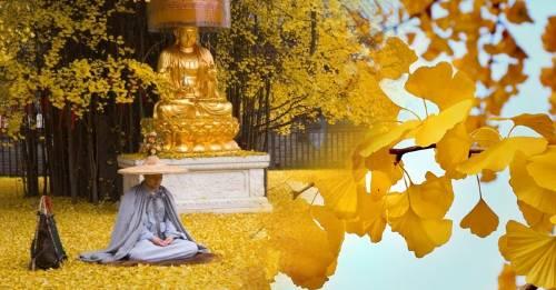 Este árbol Ginko tiene 1400 años y cada año ofrece un espectáculo impactante
