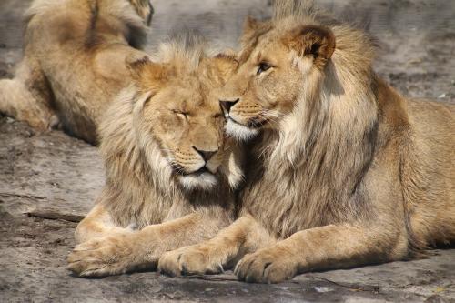 Sudáfrica prohíbe la cría de leones cautivos para la caza y el turismo