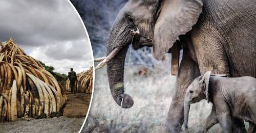 Esto le hacemos a los elefantes: así de impactante es la caza furtiva