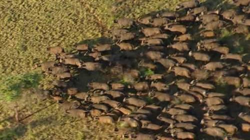 Una manada de búfalos se une a una manifestación de nativos americanos