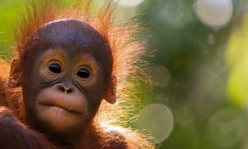Estos tiernos orangutanes sorprendieron al mundo al salir a pasear tomados de ..