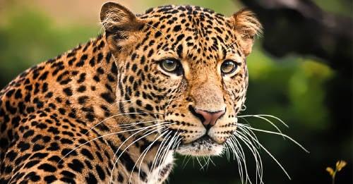 Un leopardo encontró un monito perdido y su reacción se volvió viral