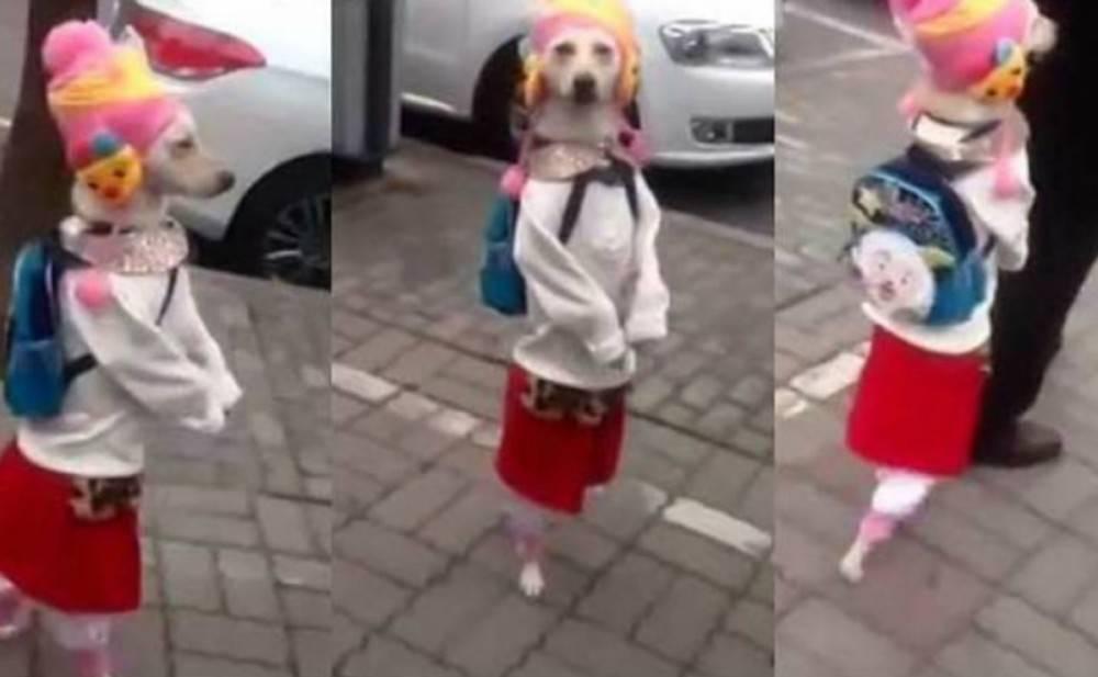 La triste realidad de los videos de perritos caminando en dos patas