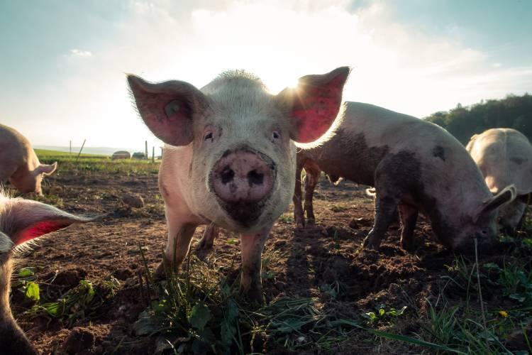 bienestar animal en granjas
