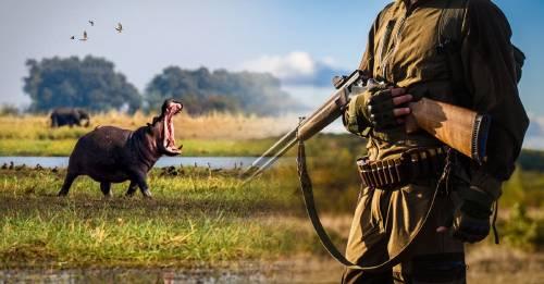 Este país africano planea asesinar 2.000 hipopótamos para que no pueblen un río