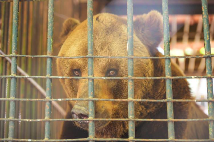 oso en cautivero detras de las rejas