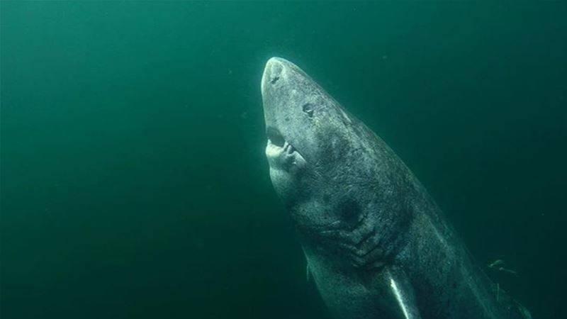 ¿Es el animal más viejo del mundo? hallan un tiburón de 512 años de edad e..