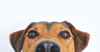 Afirman que los perros pueden detectar mejor la presencia del Covid-19 que las pruebas rápidas