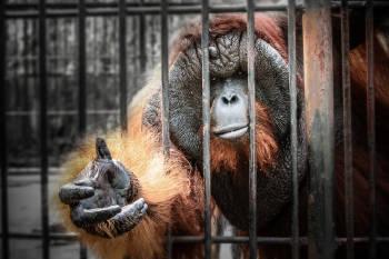 orangutan jaula
