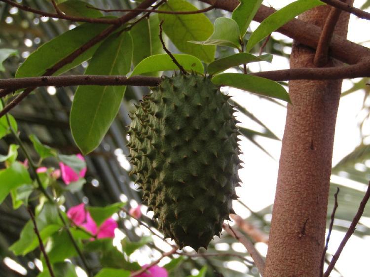 guanabana nutritiva