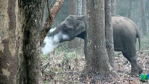 ¿Por qué este elefante exhala humo por la trompa?
