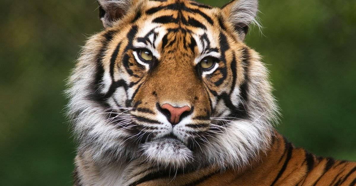 Estiman que el hogar del tigre de Bengala desaparecerá en 2070 por el cambio climático