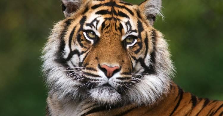 hogar-tigre-de-bengala-desaparecera-2070