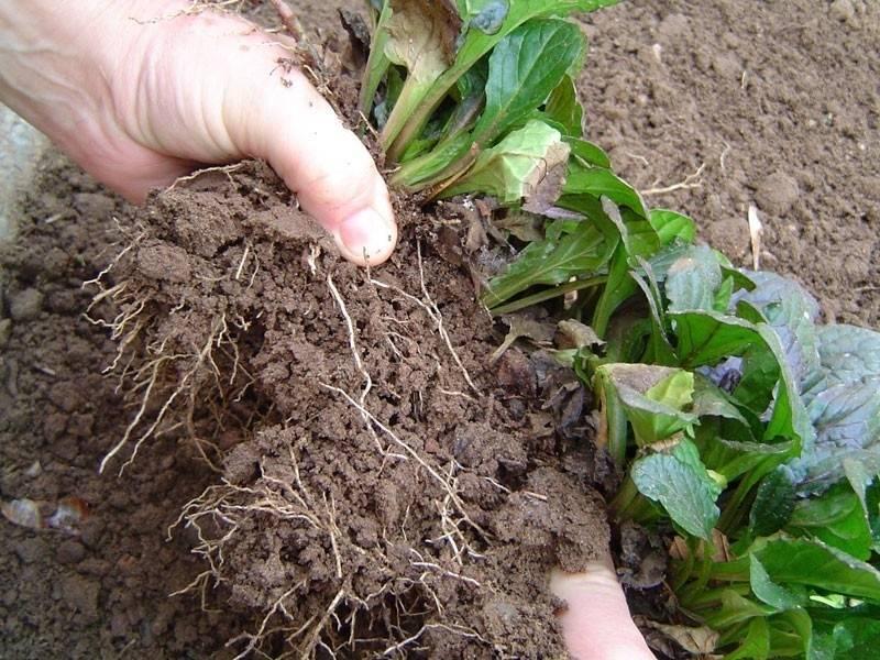 Cómo y cuándo dividir las plantas del jardín para reproducirlas