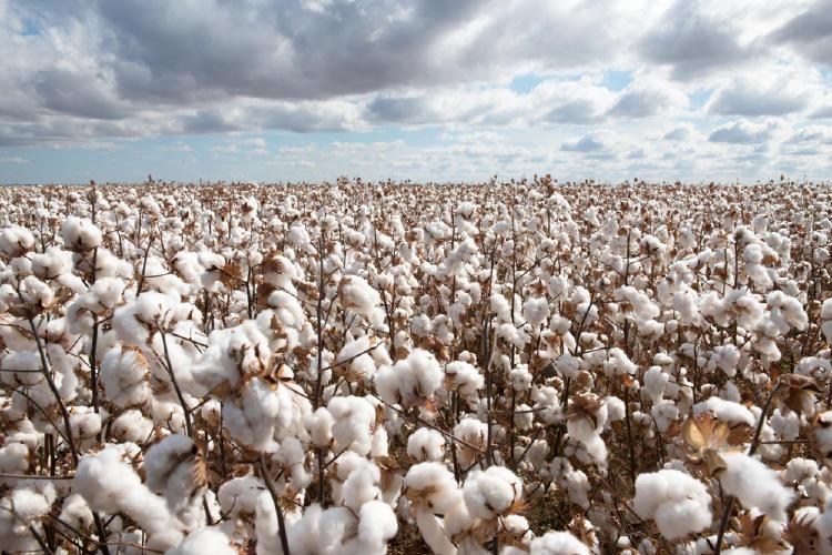 plantacion algodon