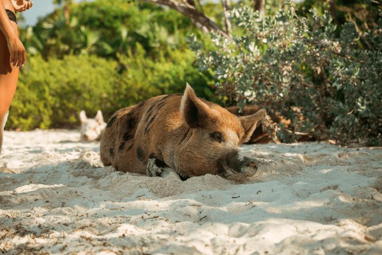 pig beach cerdo recostado playa (1)