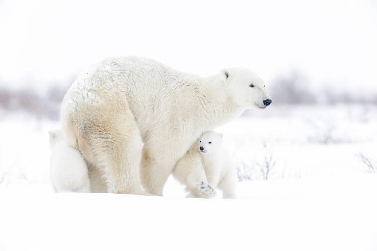 oso polar nieve