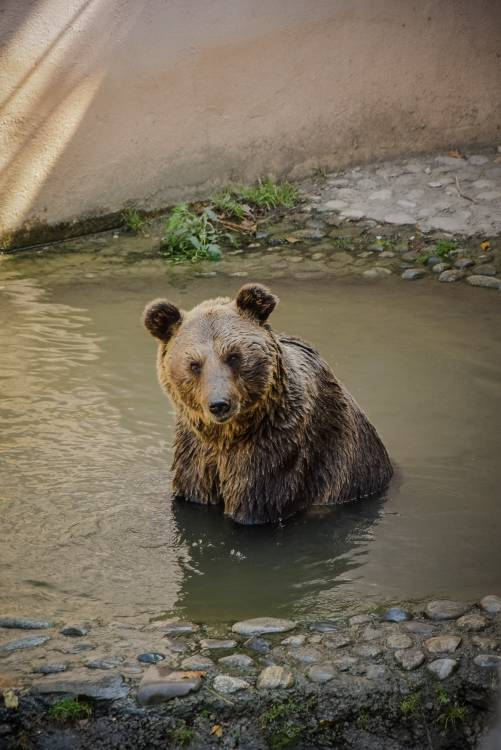 brown-bear-on-body-of-water-1466592
