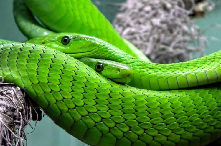 Dos serpientes verdes entrelazadas
