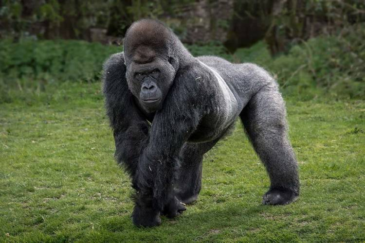 otro gorilla 2
