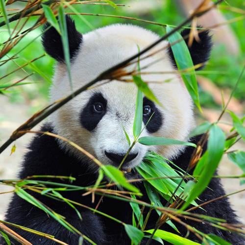 Un oso panda comiendo hojas de bambú