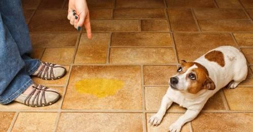 """Cómo enseñar a tu perro a no hacer """"Pipí"""" en casa."""
