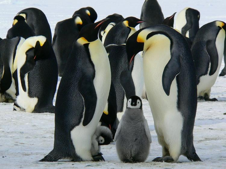 emperor-penguins-429128_1920