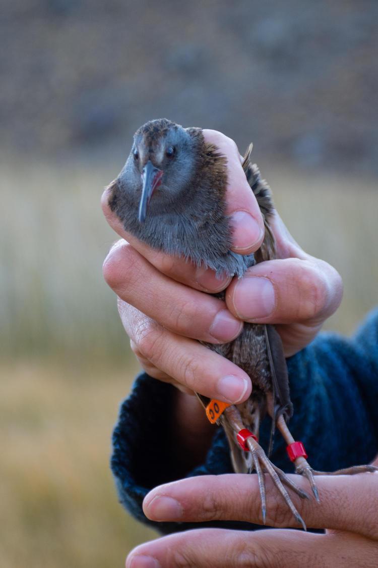 Una gallineta austral durante la marcación con un anillo en una pata y toma de medidas morfométricas - Foto Franco Bucci para Fundación Rewilding Argentina