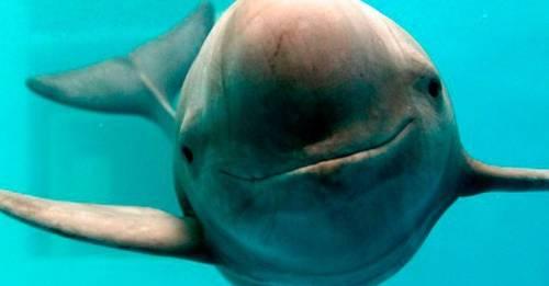 Todo sobre el avistamiento de vaquitas marinas que da esperanzas a la especie