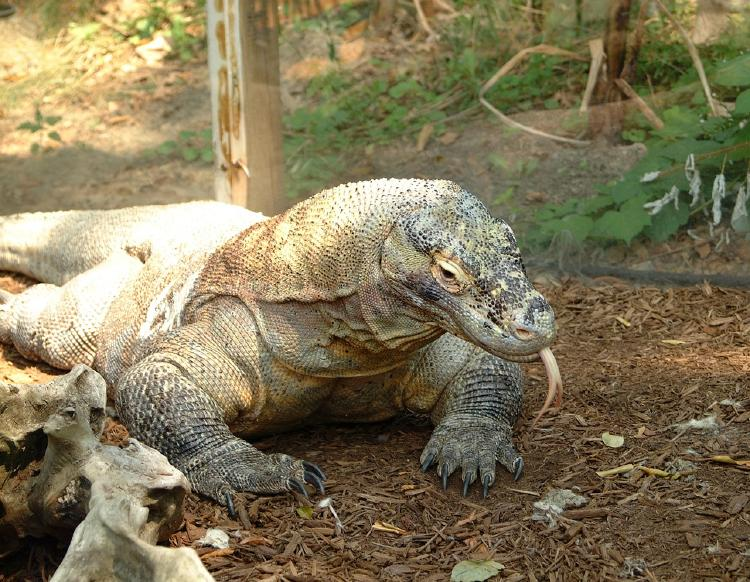 El dragón de Komodo entró en la lista roja de las especies en peligro de extinción