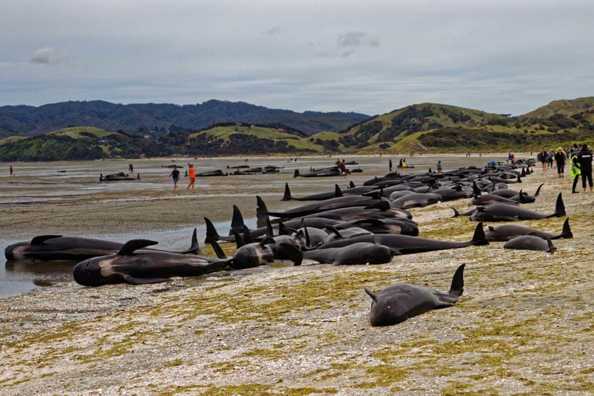 Más de 100 ballenas varadas fueron rescatadas por aldeanos en Sri Lanka