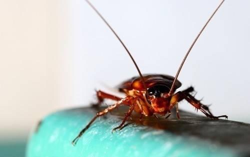 Cómo  combatir las cucarachas de manera natural y sin hacerles daño