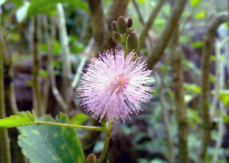 stockvault-mimosa-pudica-thottavadi-flower141421