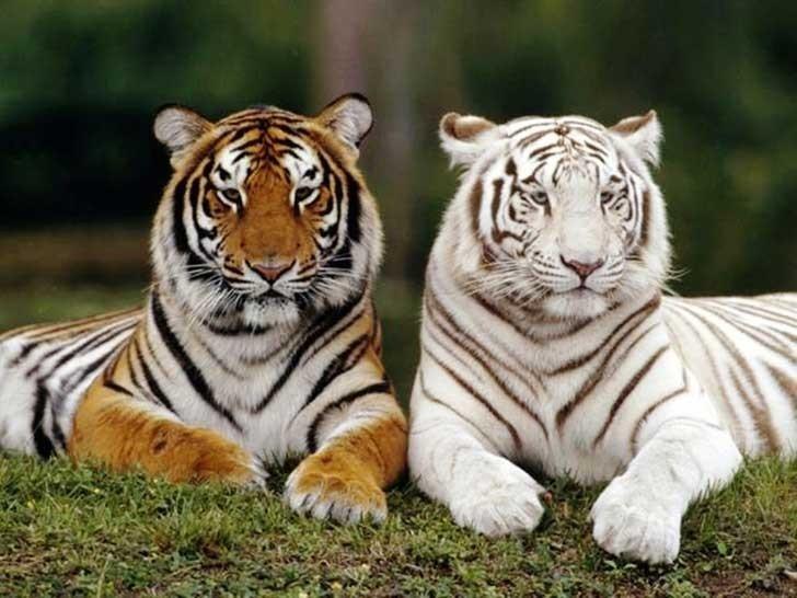 Su color es blanco debido a una mutación genética