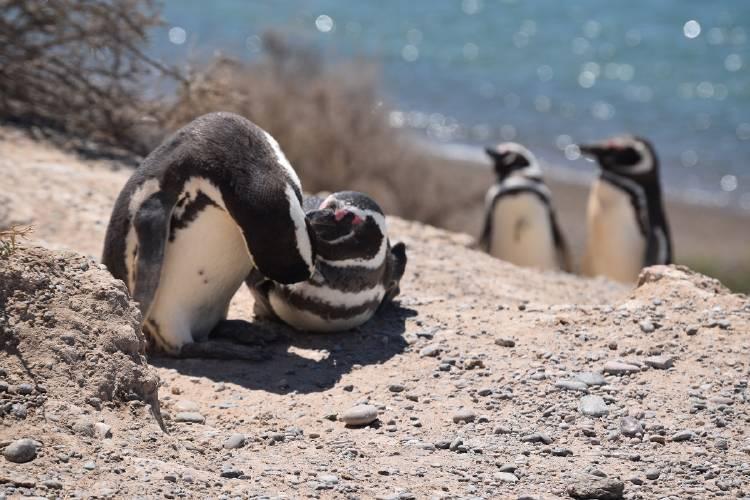 Pingúino de Magallanes III