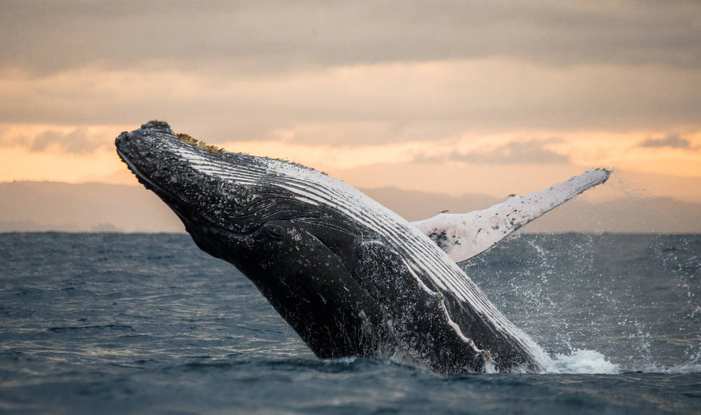 Las ballenas jorobadas se salvan: pasaron de 450 a 25.000 ejemplares
