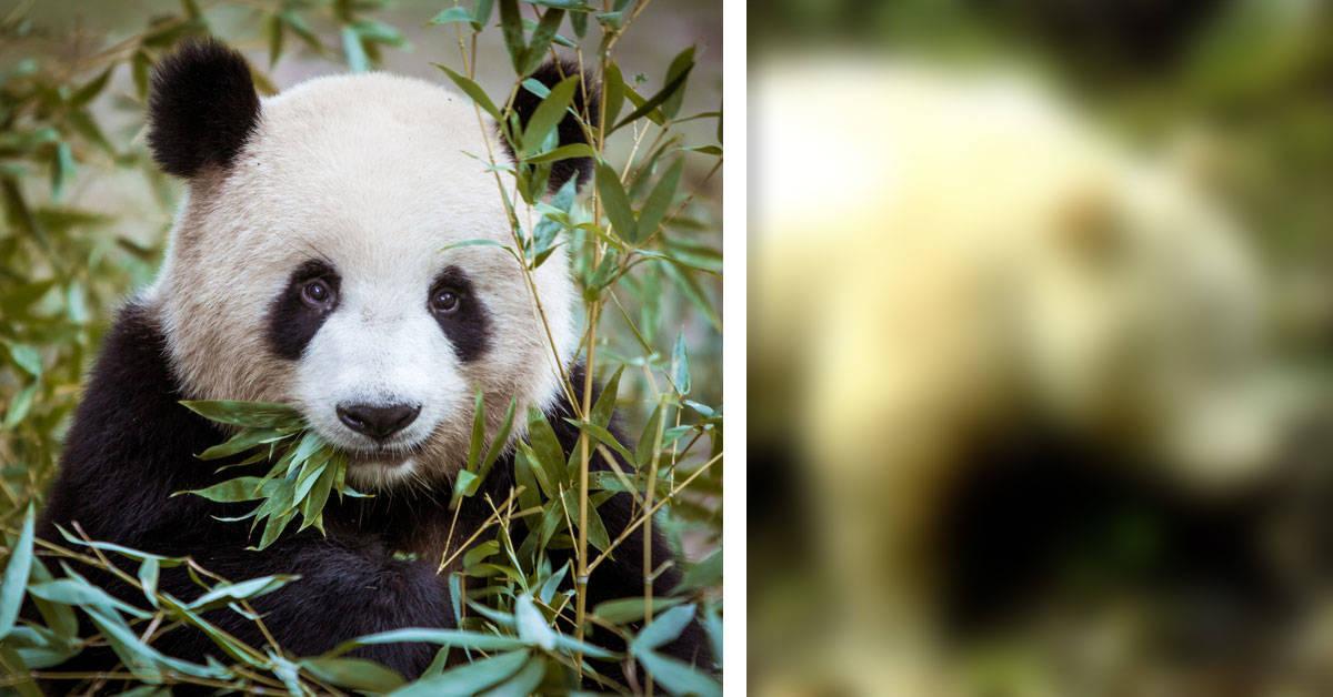 Fotografían un panda albino por primera vez en la historia