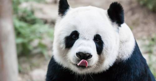 Si buscas un trabajo nuevo, ¡China te ofrece abrazar pandas!