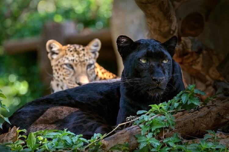 pantera leopardo negro negra