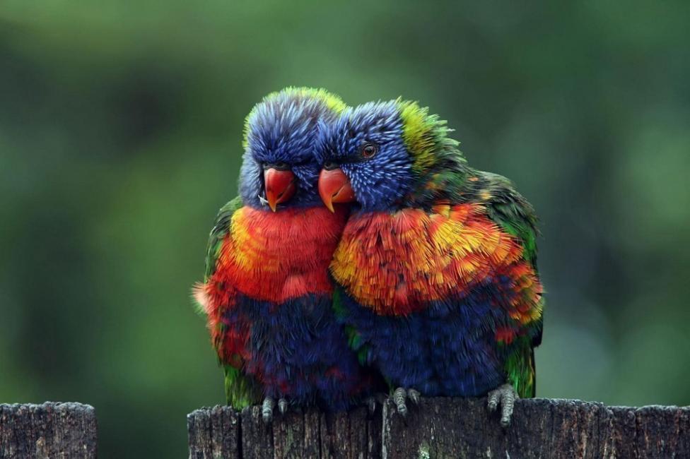 El lori arcoíris e conocido por los científicos como Trichoglossus haematodus.