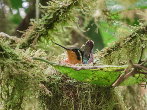 Esta madre colibrí creó un nido con techo para sus polluelos
