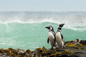 pinguinos magallanes patagonicos
