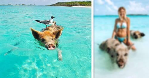"""La famosa """"isla de los cerdos"""" de las Bahamas que paso a ser el infierno"""
